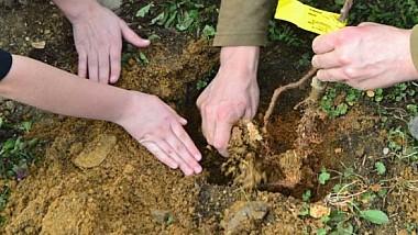 Plantarea violelor, care au format covorul viu din centrul Capitalei