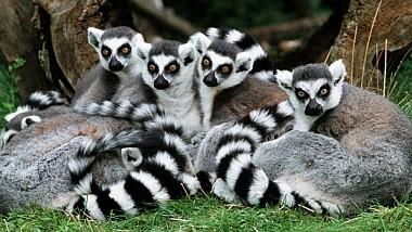 Un lemur a băgat în panică toată Rusia. Animalul a ales învingătoarea meciului de deschidere