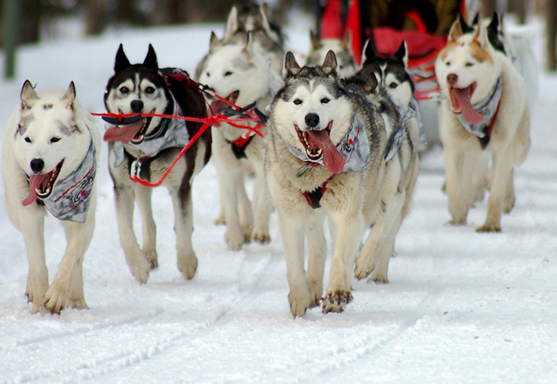 dog sledding - 1024×683