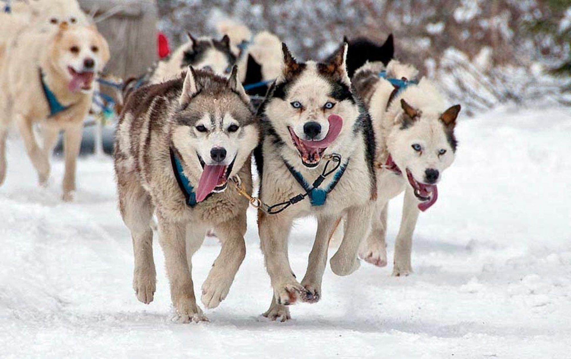 dog sledding - 900×598