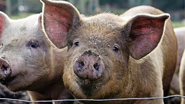 Un nou focar de pestă porcină. Într-o gospodărie din satul Mereni șase animale au murit din cauza acestui virus