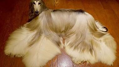 Kevin Chan se declară proprietarul celui mai stilat și frumos câine din lume
