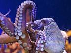 Expediţiile la adâncimi mari în oceanul Pacific au scos la iveală un grup uriaş de caracatiţe
