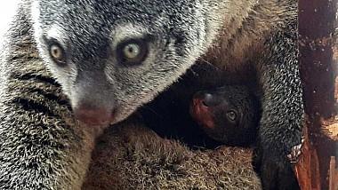 Un pui de cuscus s-a născut la grădina zoologică Wroclaw din Polonia