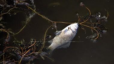 Pe suprafața lacului din Parcul Valea Morilor plutesc zeci de pești morți
