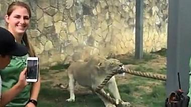 Trei luptători profesionişti din Statele Unite au fost învinşi la jocul de tras sfoara de un leu de la grădina zoologică din Texas